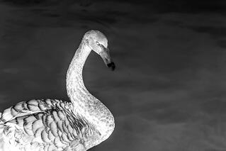black-swans-in-risk-negative.jpg