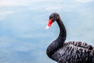 black-swans-in-risk.jpg