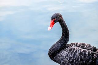black-swans-in-risk.jpg
