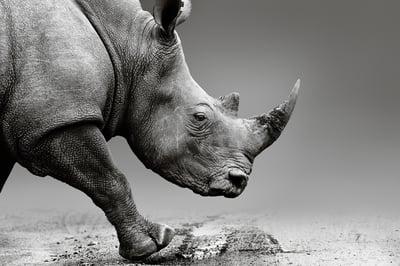 Rhinocerus - COVID-19 Isnt a Black Swan - Its a Gray Rhino